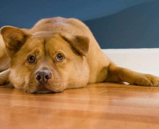 dog lying on hardwood floor in house