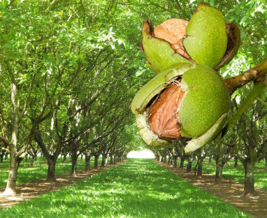 Walnut Hardwood Lumber Farm with Close Up of Nut Stem
